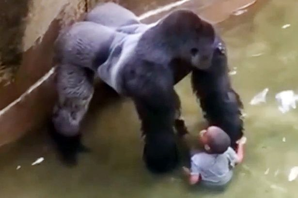 Photo+of+Harambe+and+the+boy+holding+hands+during+gorilla%E2%80%99s+shocking+last+moments.+He+didn%E2%80%99t+know+that+his+next+actions+would+cost+him+his+life.+Photo+credit%3A+www.dailymail.co.uk++